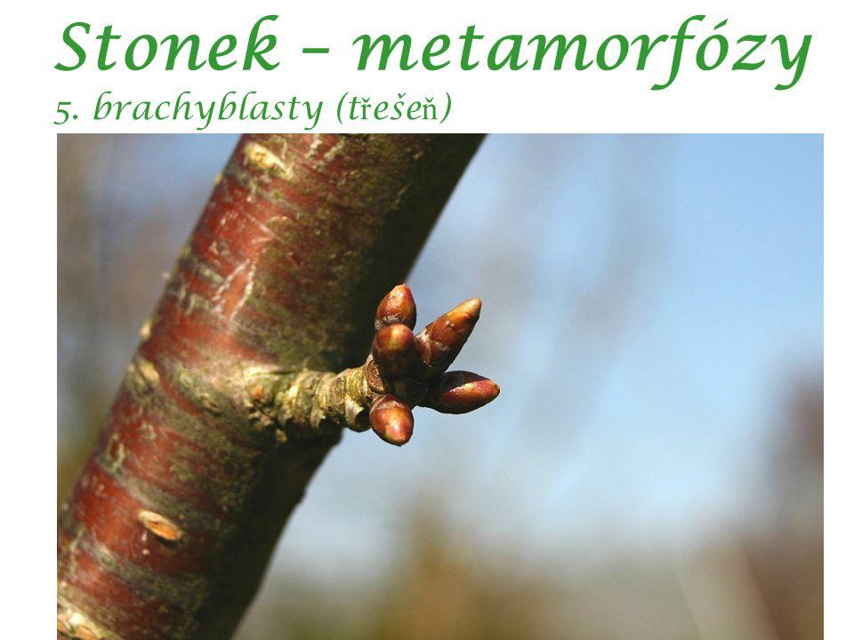 Stonek – metamorfózy 5. brachyblasty (t ř eše ň )
