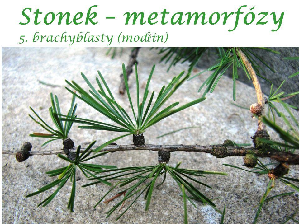 Stonek – metamorfózy 5. brachyblasty (mod ř ín)