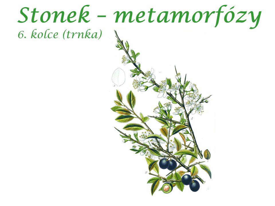 Stonek – metamorfózy 6. kolce (trnka)