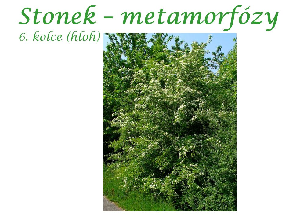 Stonek – metamorfózy 6. kolce (hloh)