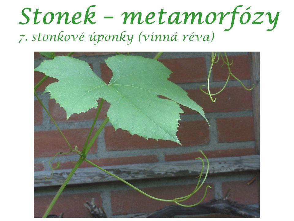 Stonek – metamorfózy 7. stonkové úponky (vinná réva)