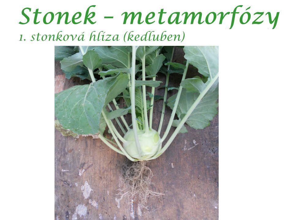 Stonek – metamorfózy 1. stonková hlíza (kedluben)