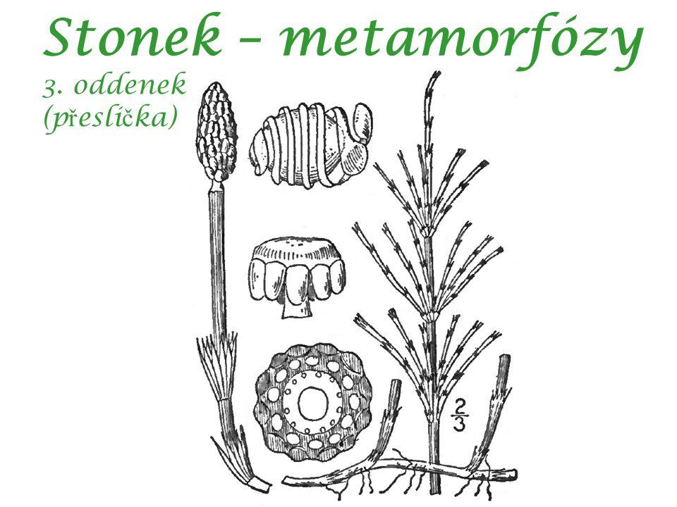 Stonek – metamorfózy 3. oddenek (p ř esli č ka)