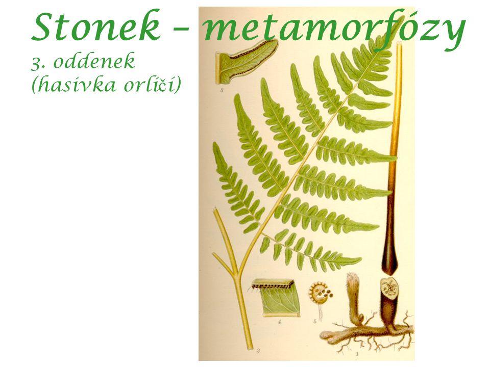 Stonek – metamorfózy 3. oddenek (hasivka orli č í)