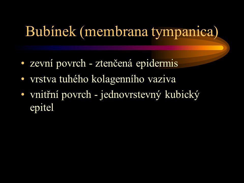 Bubínek (membrana tympanica) zevní povrch - ztenčená epidermis vrstva tuhého kolagenního vaziva vnitřní povrch - jednovrstevný kubický epitel