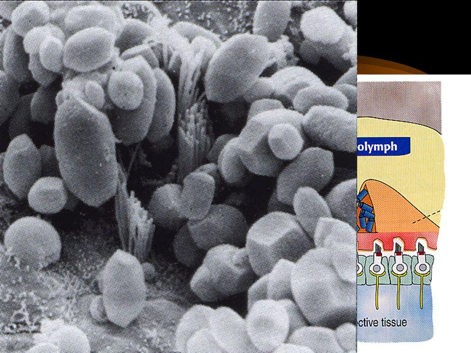 Otolitické orgány saculus et utriculus makula vláskové buňky podpůrné buňky gelová vrstva otolity - krystaly CaCO 3