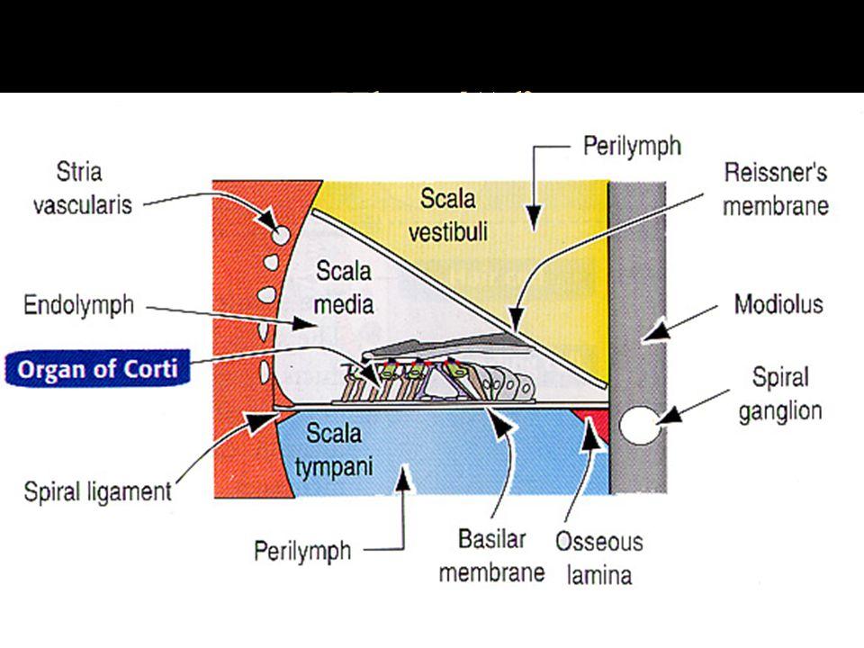 Hlemýžď scala vestibuli –membrana vestibuli (Reisneri) scala media –stria vascularis –membrana basilaris - směrem k apexu tloustne scala tympani