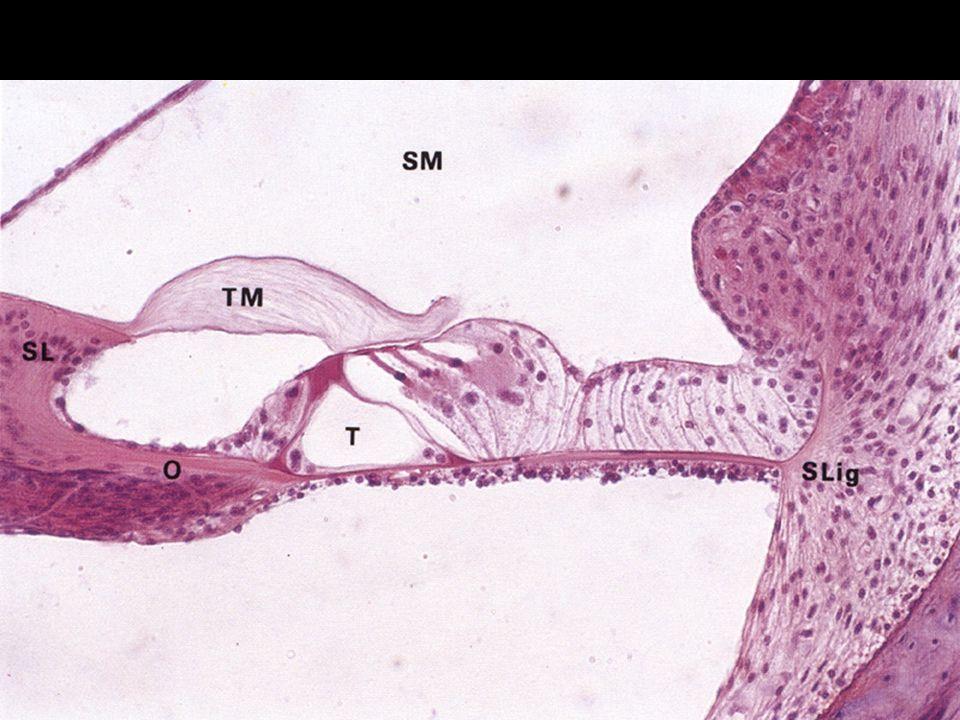 Cortiho orgán vláskové buňky –vnější a vnitřní –na povrchu stereocilie vrcholy zabořeny do membrana tectoria podpůrné bb. –pilířové - ohraničují vnitř