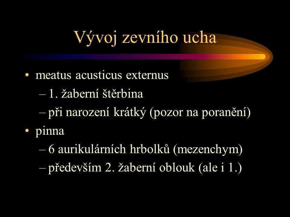 Vývoj zevního ucha meatus acusticus externus –1. žaberní štěrbina –při narození krátký (pozor na poranění) pinna –6 aurikulárních hrbolků (mezenchym)