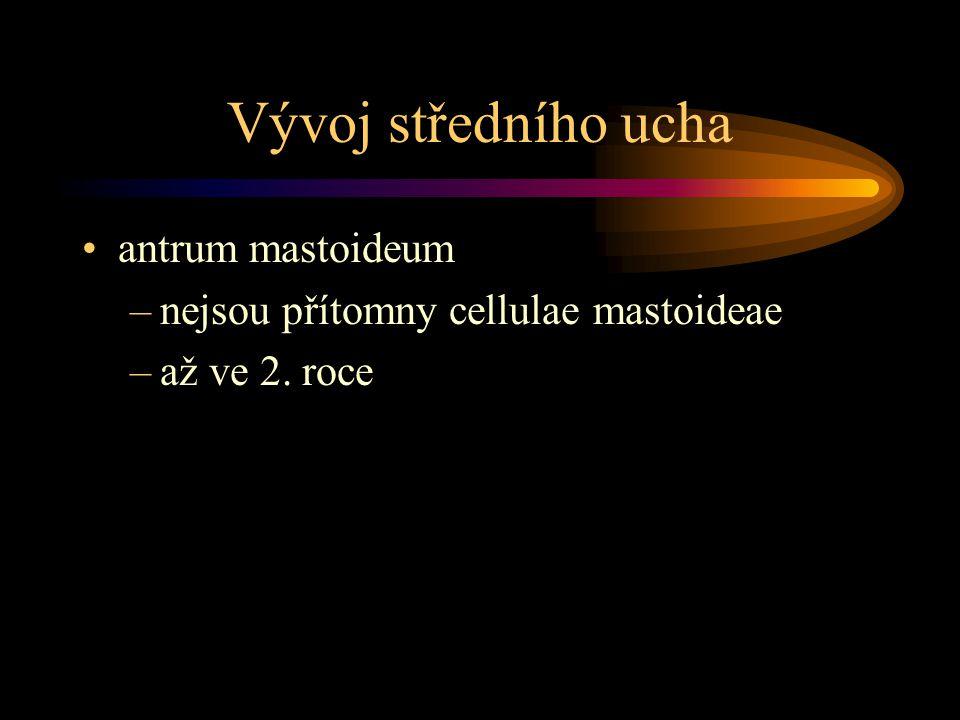 Vývoj středního ucha antrum mastoideum –nejsou přítomny cellulae mastoideae –až ve 2. roce