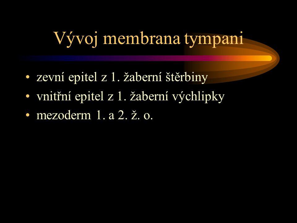 Vývoj membrana tympani zevní epitel z 1. žaberní štěrbiny vnitřní epitel z 1. žaberní výchlipky mezoderm 1. a 2. ž. o.