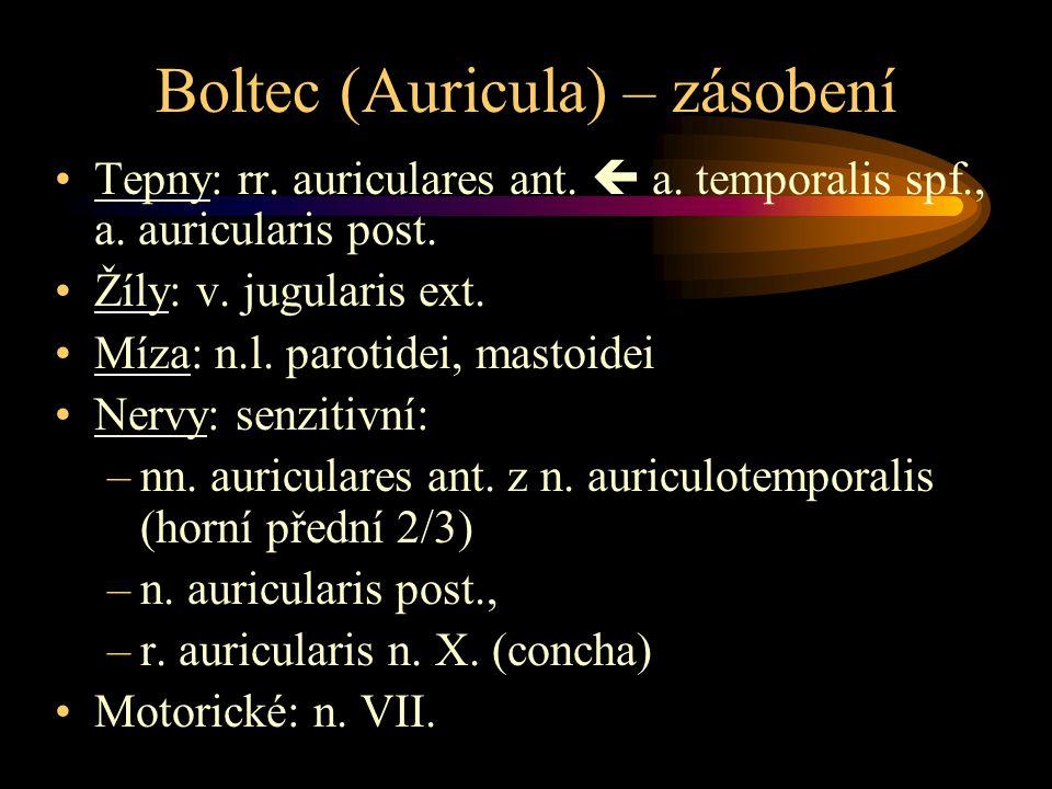 Boltec (Auricula) – zásobení Tepny: rr. auriculares ant.  a. temporalis spf., a. auricularis post. Žíly: v. jugularis ext. Míza: n.l. parotidei, mast
