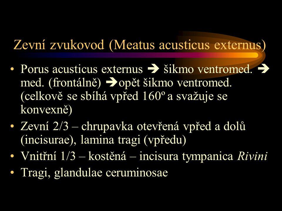 Zevní zvukovod (Meatus acusticus externus) Porus acusticus externus  šikmo ventromed.  med. (frontálně)  opět šikmo ventromed. (celkově se sbíhá vp