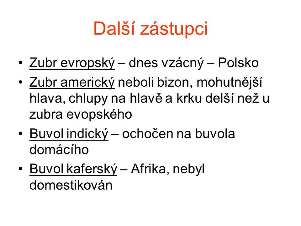 Zubr evropský Obr.4.