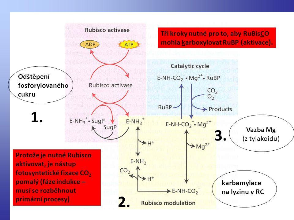 Odštěpení fosforylovaného cukru karbamylace na lyzinu v RC Vazba Mg (z tylakoidů) 1.