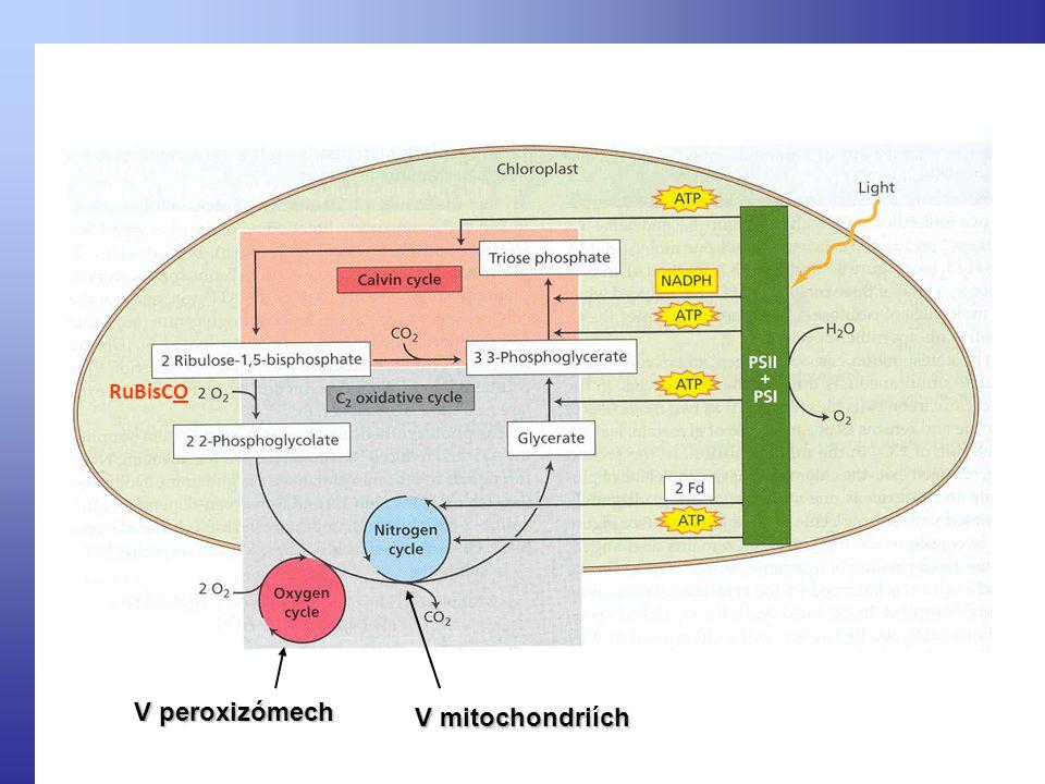 V peroxizómech V mitochondriích RuBisCO