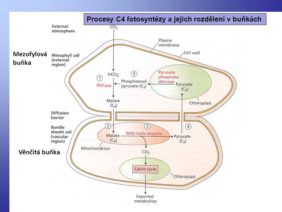 Procesy C4 fotosyntézy a jejich rozdělení v buňkách Mezofylová buňka Věnčitá buňka