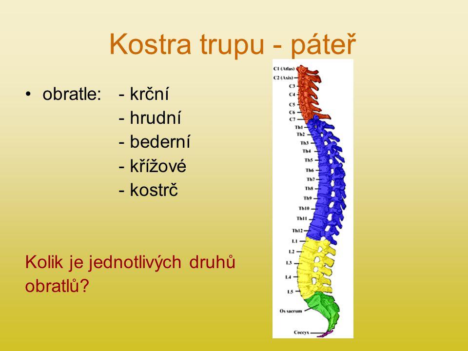 Kostra trupu - páteř obratle: - krční - hrudní - bederní - křížové - kostrč Kolik je jednotlivých druhů obratlů?