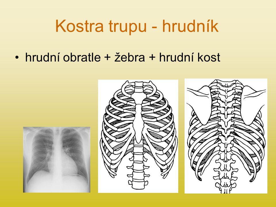 Kostra trupu - hrudník hrudní obratle + žebra + hrudní kost