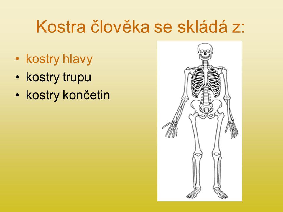 Kostra člověka se skládá z: kostry hlavy kostry trupu kostry končetin