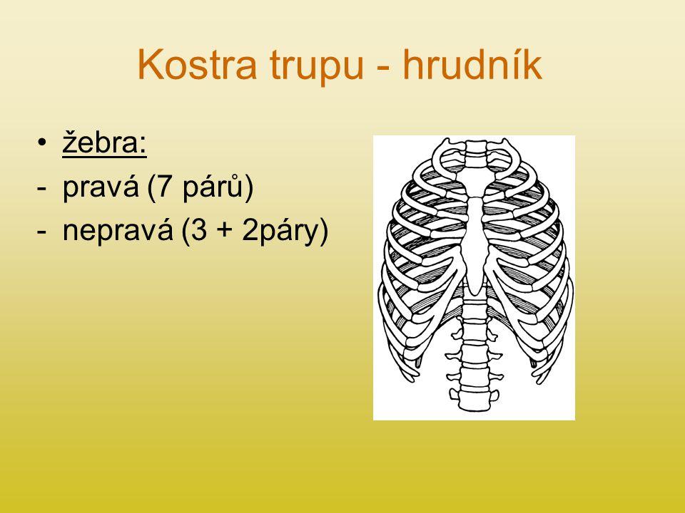 Kostra trupu - hrudník žebra: -pravá (7 párů) -nepravá (3 + 2páry)