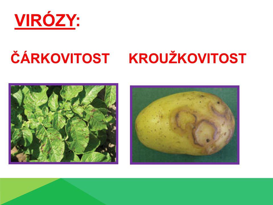 Obecná strupovitost bramboru Příznaky: na hlízách, někdy i kořenech vznikají hnědé, korkovité skvrny, které jsou na povrchu hlízy, ale mohou být až do hloubky
