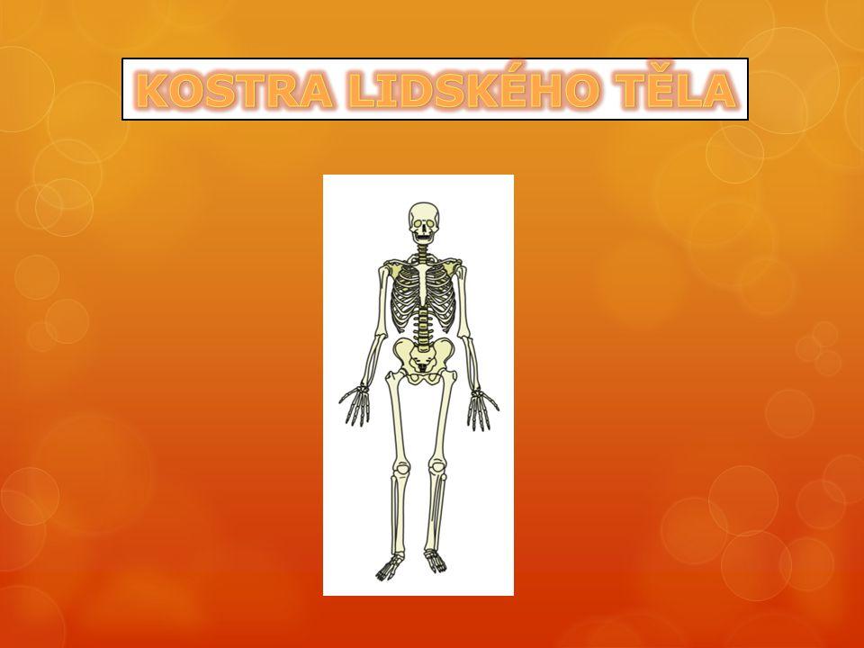 tvoří oporu těla upínají se na ni kosterní svaly udává tvar těla postava člověka (díky kostře) je tedy vzpřímená a páteř je dvojesovitě prohnutá horní končetiny slouží k uchopování a dolní k pohybu mozkovna lebky je větší než část obličejová