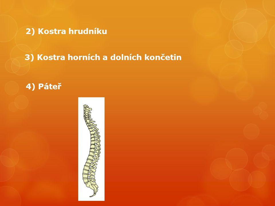 lebka kost klíční kost hrudní kůstky zápěstní kůstky záprstní články prstů kost pažní hrudník žebra kost pánevní kost křížová páteř kost stehenní kost holenní kost lýtková kůstky zánártní kůstky nártní články prstů kost loketní kost vřetenní čéška Stavba lidské kostry