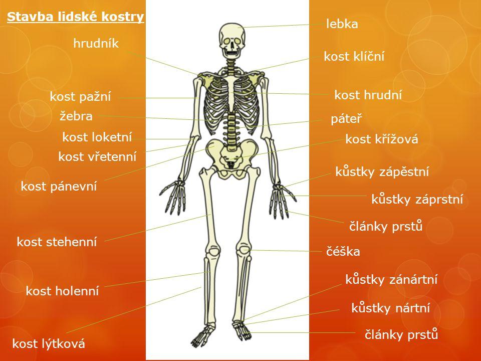 lebka kost klíční kost hrudní kůstky zápěstní kůstky záprstní články prstů kost pažní hrudník žebra kost pánevní kost křížová páteř kost stehenní kost