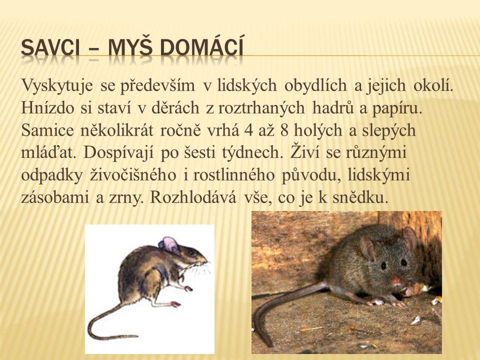 Patří k nejrozšířenějšímu hmyzu v lidských obydlích a jejich okolí.
