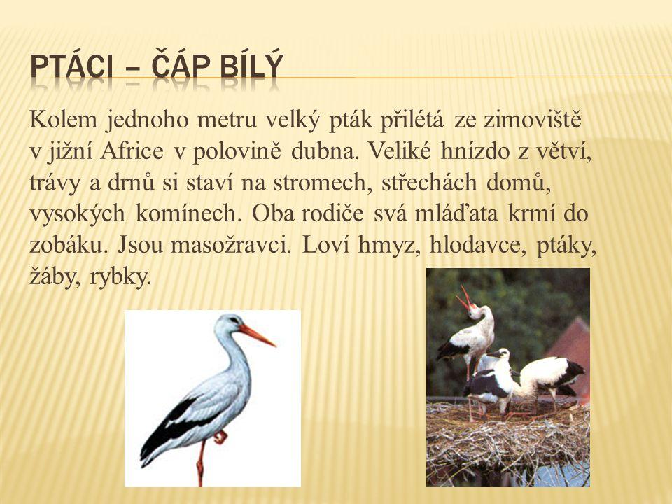 Kolem jednoho metru velký pták přilétá ze zimoviště v jižní Africe v polovině dubna. Veliké hnízdo z větví, trávy a drnů si staví na stromech, střechá
