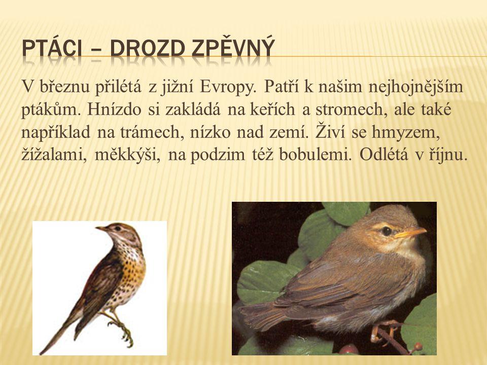 V březnu přilétá z jižní Evropy. Patří k našim nejhojnějším ptákům. Hnízdo si zakládá na keřích a stromech, ale také například na trámech, nízko nad z