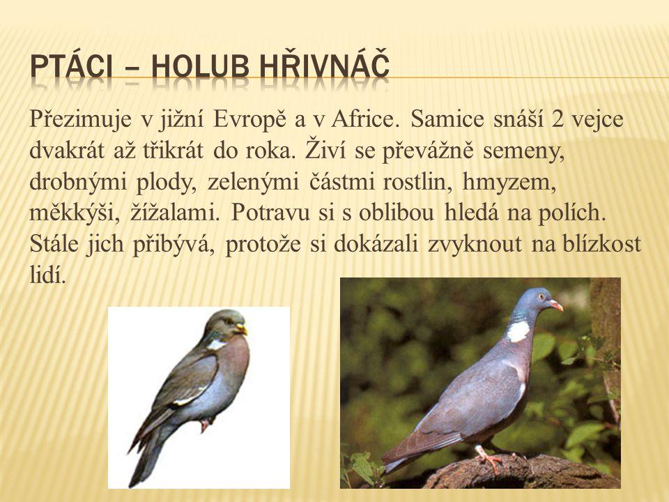Přezimuje v jižní Evropě a v Africe. Samice snáší 2 vejce dvakrát až třikrát do roka. Živí se převážně semeny, drobnými plody, zelenými částmi rostlin