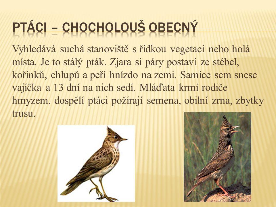 Vyhledává suchá stanoviště s řídkou vegetací nebo holá místa. Je to stálý pták. Zjara si páry postaví ze stébel, kořínků, chlupů a peří hnízdo na zemi