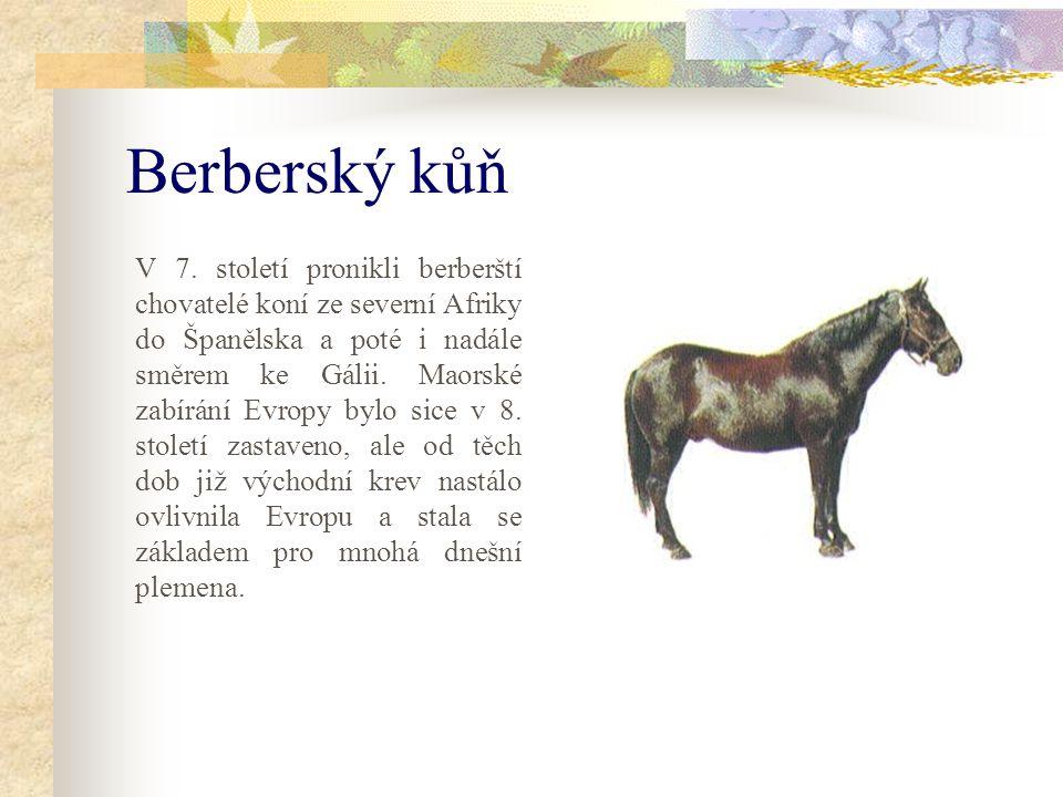 Berberský kůň V 7.