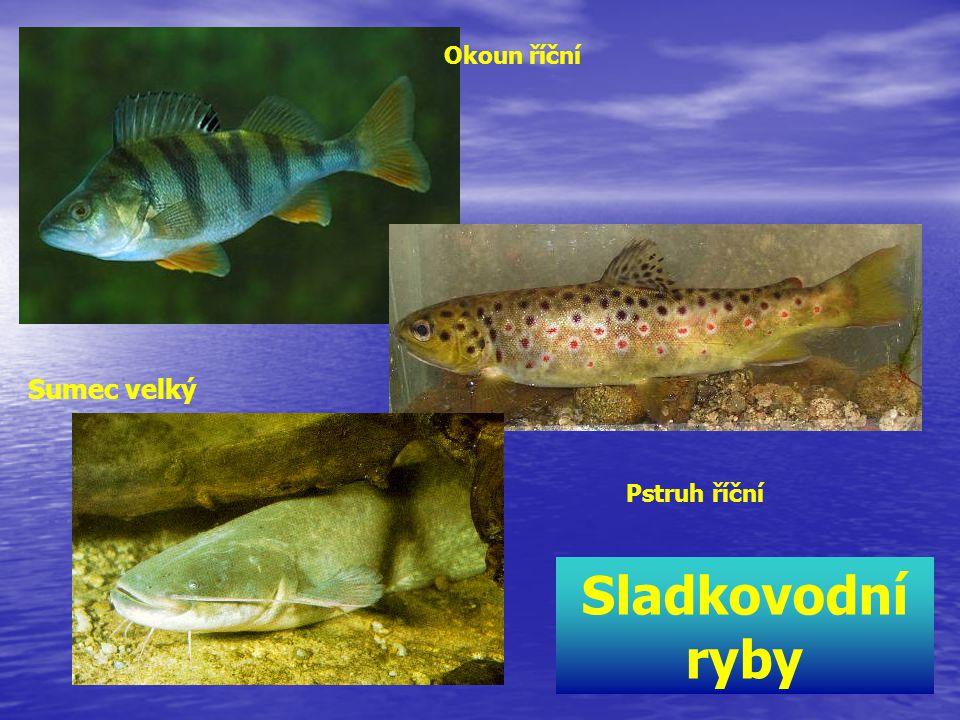 Sumec velký Okoun říční Pstruh říční Sladkovodní ryby