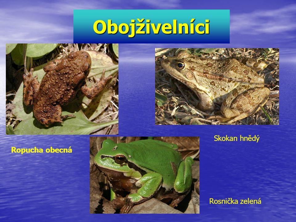 Obojživelníci Ropucha obecná Skokan hnědý Rosnička zelená