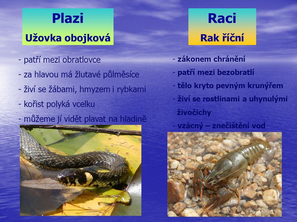 - patří mezi obratlovce - za hlavou má žlutavé půlměsíce - živí se žábami, hmyzem i rybkami - kořist polyká vcelku - můžeme jí vidět plavat na hladině Plazi Užovka obojková Raci Rak říční - zákonem chránění - patří mezi bezobratlí - tělo kryto pevným krunýřem - živí se rostlinami a uhynulými živočichy - vzácný – znečištění vod