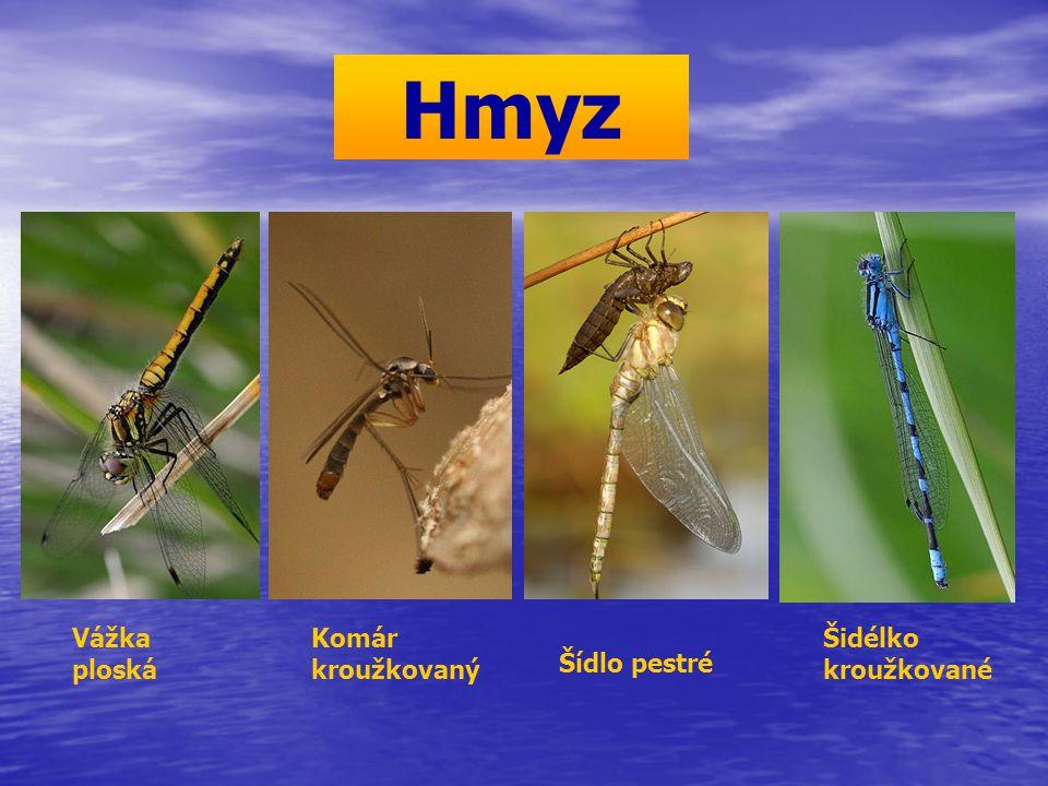 Hmyz Šidélko kroužkované Komár kroužkovaný Vážka ploská Šídlo pestré
