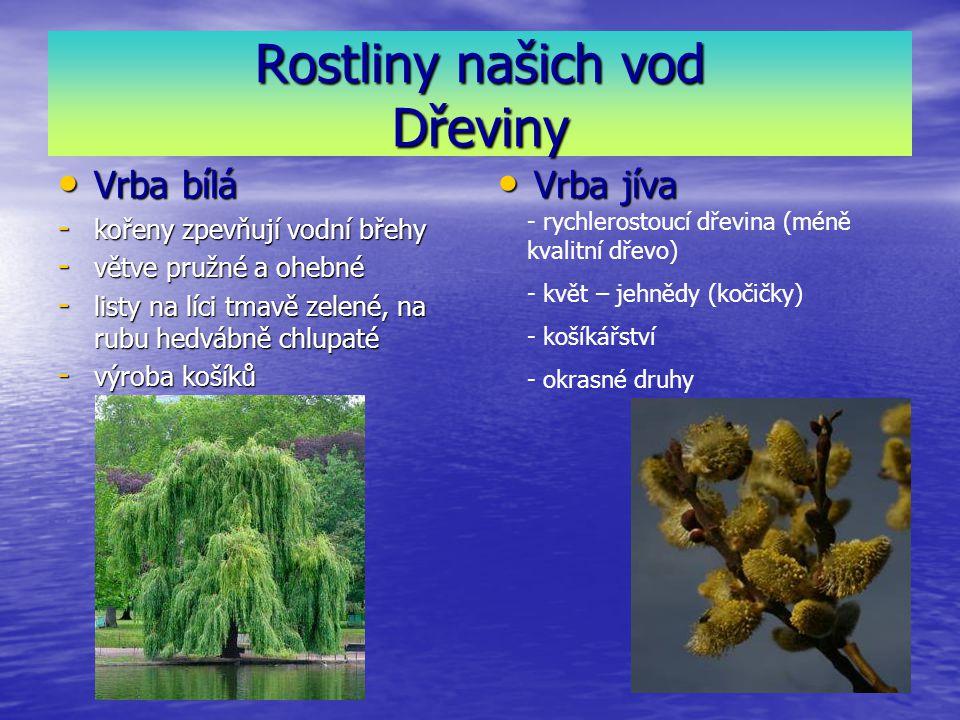 Rostliny našich vod Dřeviny Vrba bílá Vrba bílá - kořeny zpevňují vodní břehy - větve pružné a ohebné - listy na líci tmavě zelené, na rubu hedvábně chlupaté - výroba košíků Vrba jíva Vrba jíva - rychlerostoucí dřevina (méně kvalitní dřevo) - květ – jehnědy (kočičky) - košíkářství - okrasné druhy