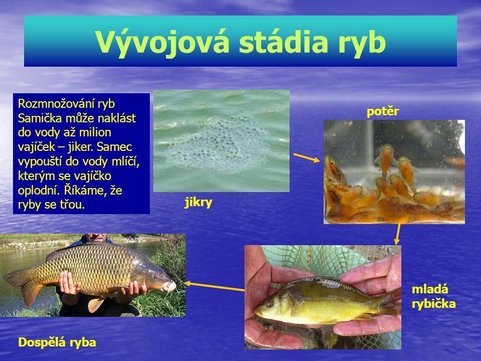 Vývojová stádia ryb Rozmnožování ryb Samička může naklást do vody až milion vajíček – jiker.