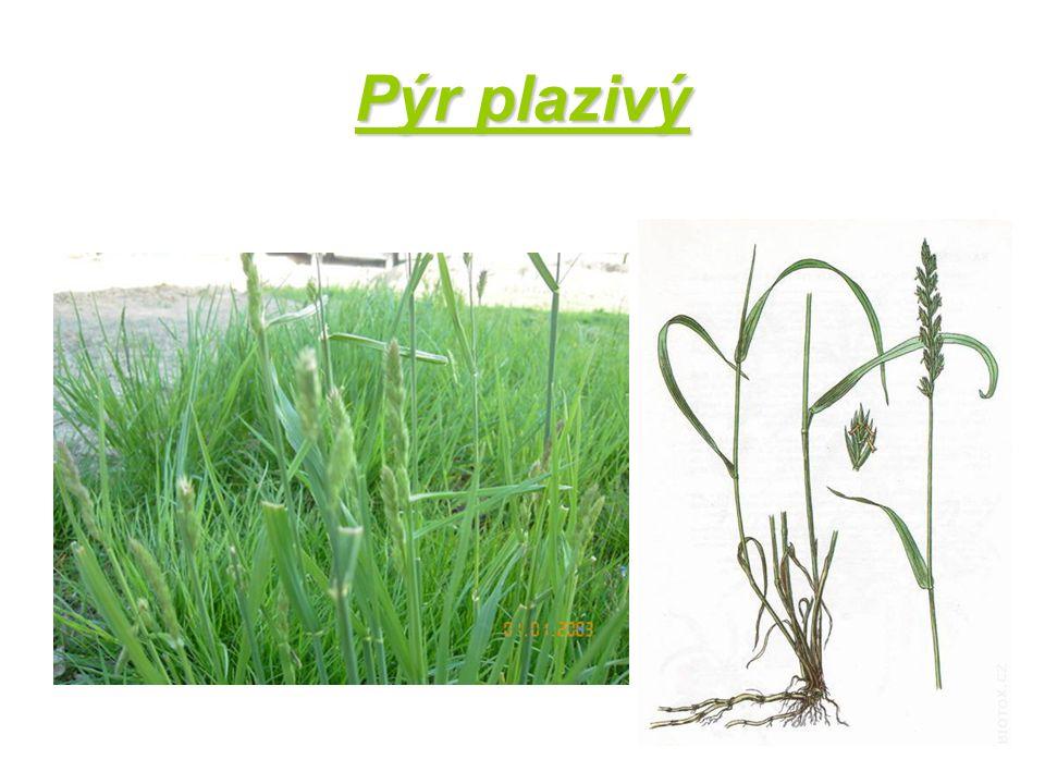 Hojně rozšířená plevelná travina Vyrůstá téměř v každém typu půdy