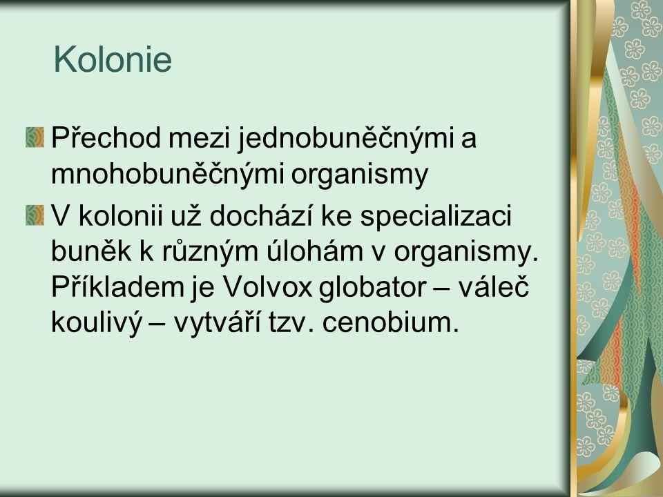 Kolonie Přechod mezi jednobuněčnými a mnohobuněčnými organismy V kolonii už dochází ke specializaci buněk k různým úlohám v organismy.
