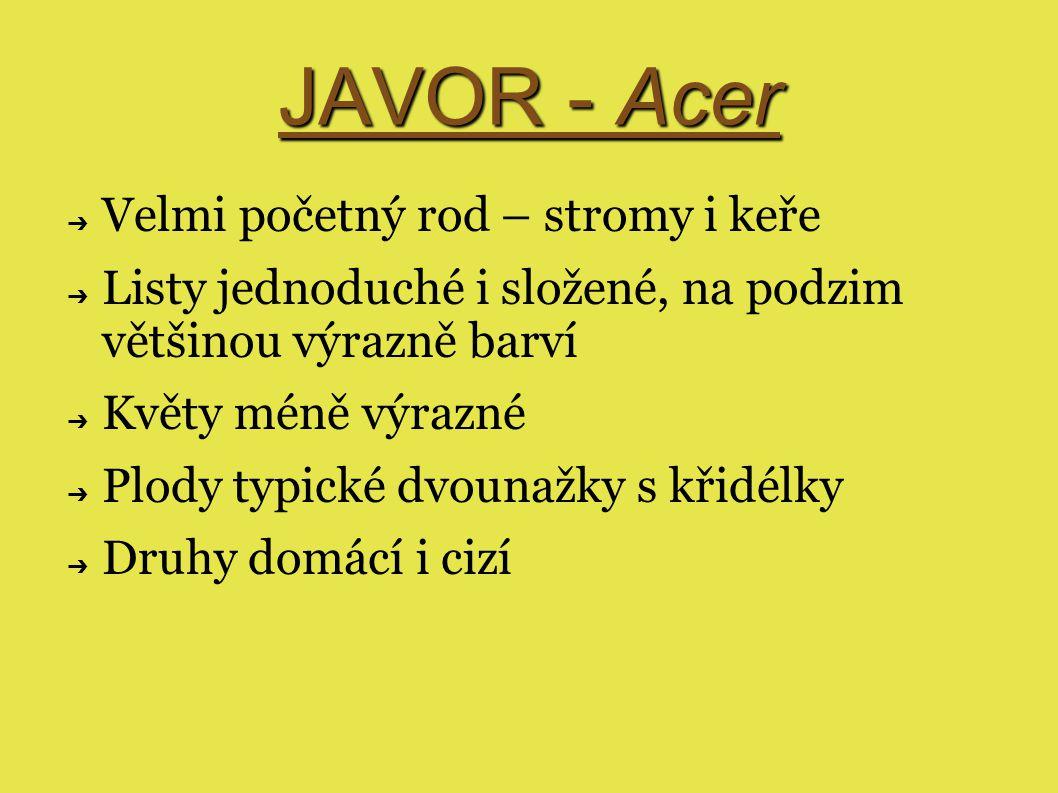 JAVOR - Acer ➔ Velmi početný rod – stromy i keře ➔ Listy jednoduché i složené, na podzim většinou výrazně barví ➔ Květy méně výrazné ➔ Plody typické dvounažky s křidélky ➔ Druhy domácí i cizí
