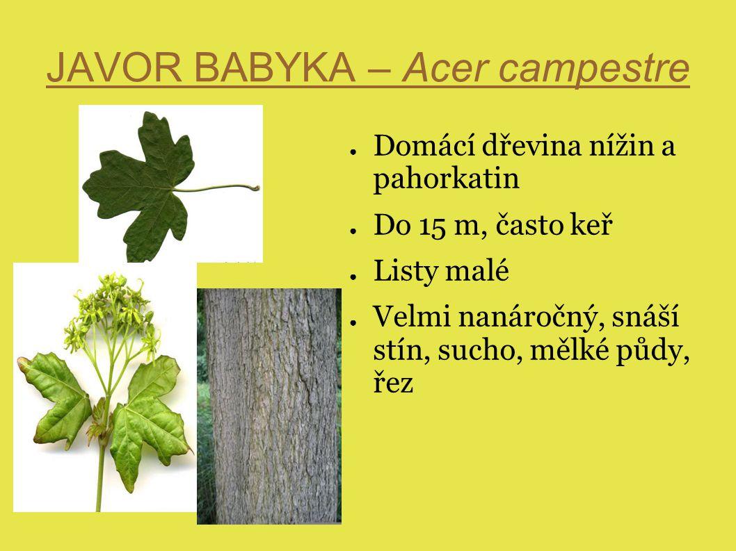JAVOR BABYKA – Acer campestre ● Domácí dřevina nížin a pahorkatin ● Do 15 m, často keř ● Listy malé ● Velmi nanáročný, snáší stín, sucho, mělké půdy, řez