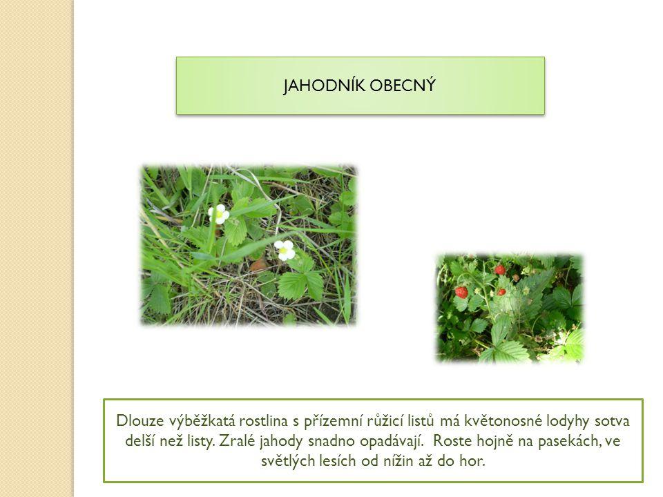 JAHODNÍK OBECNÝ Dlouze výběžkatá rostlina s přízemní růžicí listů má květonosné lodyhy sotva delší než listy. Zralé jahody snadno opadávají. Roste hoj