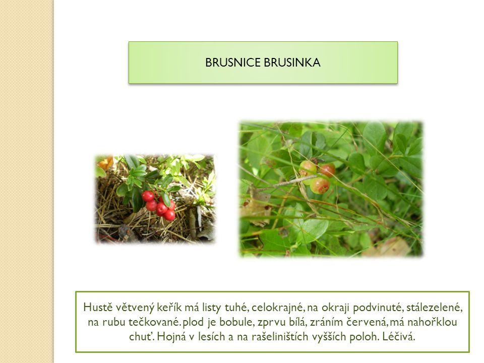 BRUSNICE BRUSINKA Hustě větvený keřík má listy tuhé, celokrajné, na okraji podvinuté, stálezelené, na rubu tečkované. plod je bobule, zprvu bílá, zrán