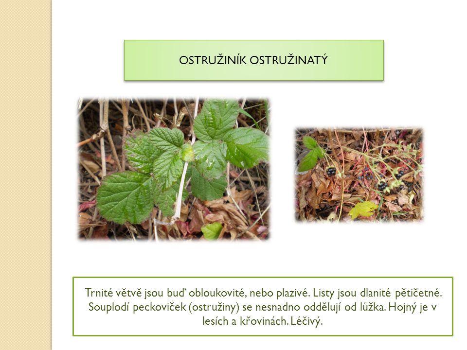 OSTRUŽINÍK OSTRUŽINATÝ Trnité větvě jsou buď obloukovité, nebo plazivé. Listy jsou dlanité pětičetné. Souplodí peckoviček (ostružiny) se nesnadno oddě