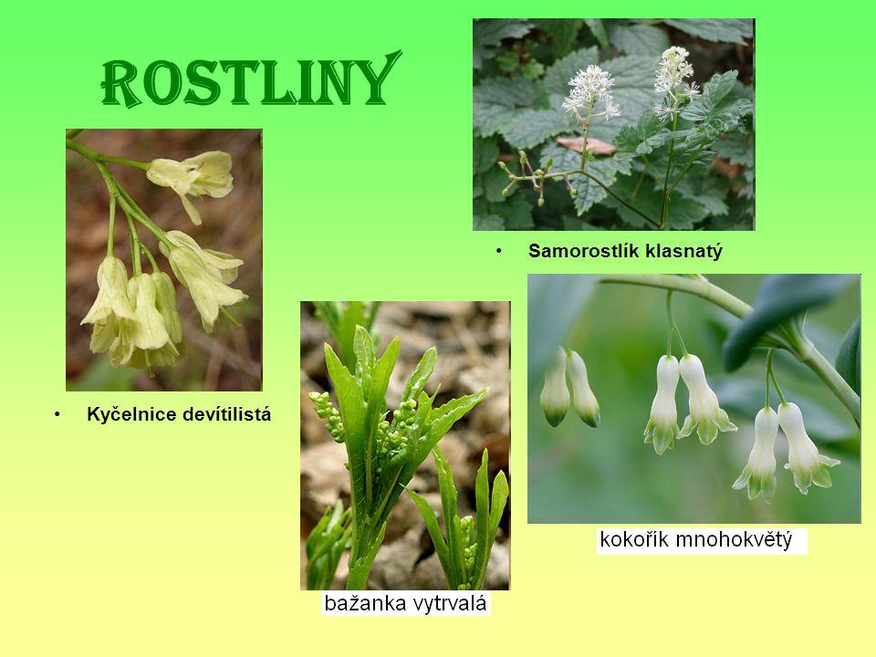 Rostliny Kyčelnice devítilistá Samorostlík klasnatý