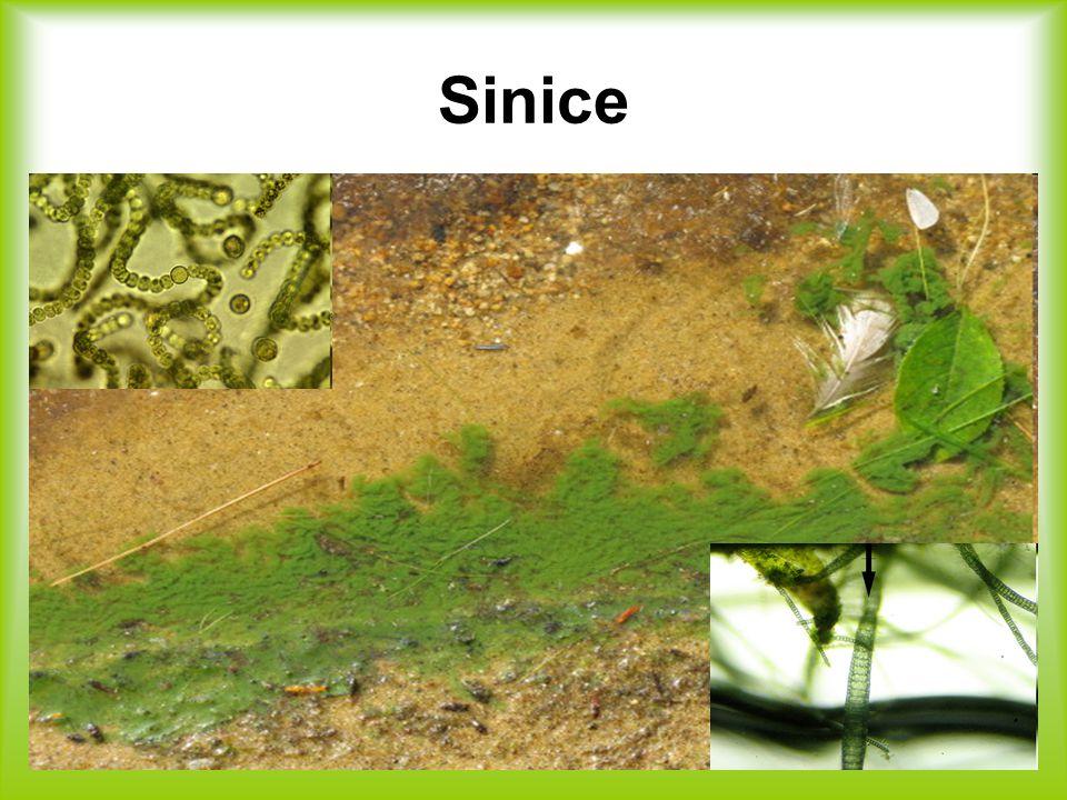 Evoluce sinice jsou první producenti kyslíků na Zemi stromatolity (živé fosílie)